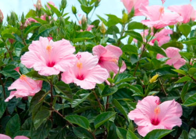 Hibiscus de Tropical Coast